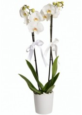 2 Dal Beyaz Orkide Çiçeği