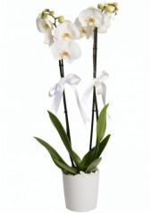 Beyaz Orkide Çift Dal