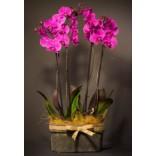 4'lü Mor Orkide